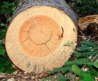 Prerez drevesnega debla